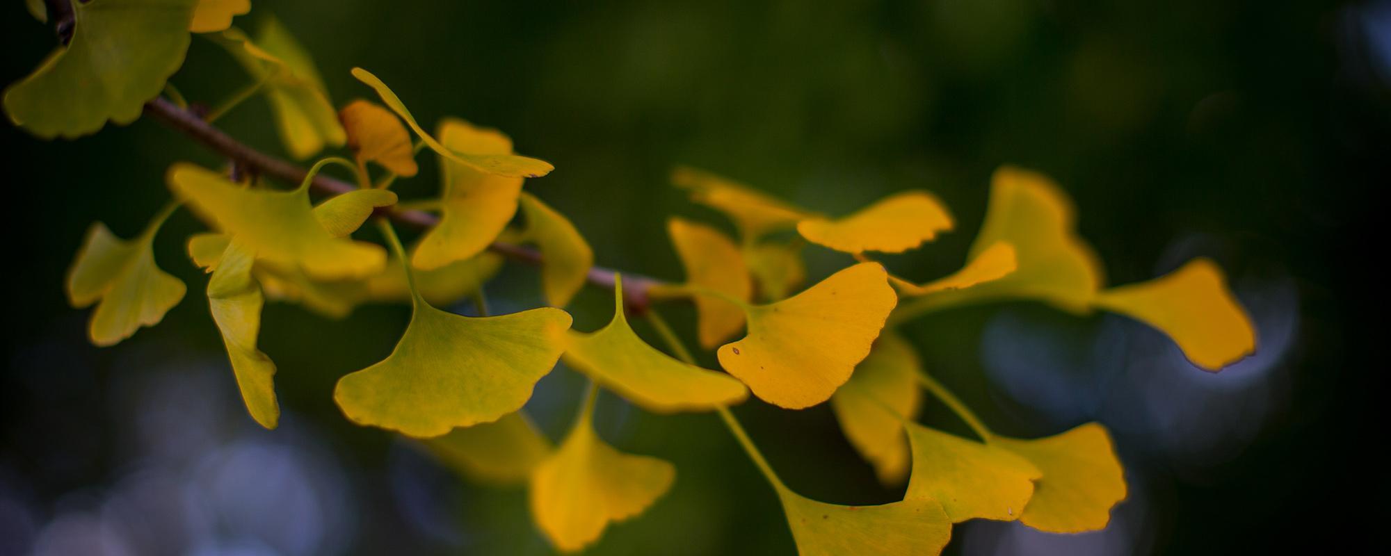 An image of Pratt Ginkgo Leaves